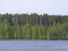 12,42  га Озеро Тригорское, сосновый лес